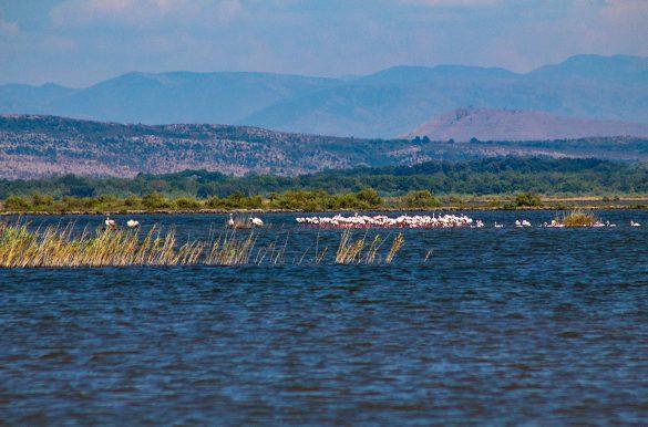 The pelican colony of the Ulcinjska Salina